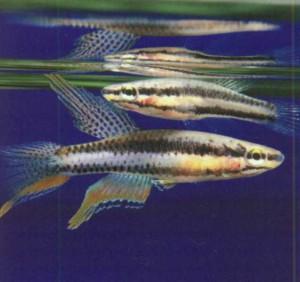 фото рыбки Афиосемион двухполосный