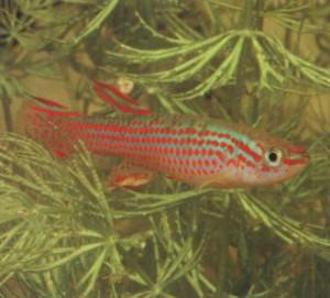 Фото рыбки Афиосемион полосатый