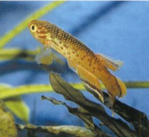 фото рыбки Афиосемион южный