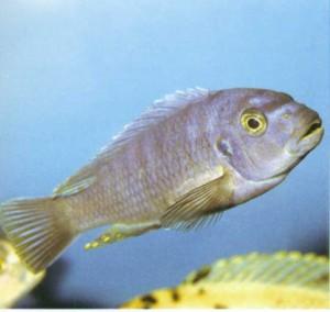 Фото рыбки Афра красноспинная