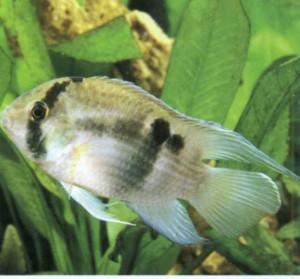 Фото рыбки Акара Марони