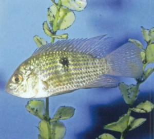 фото рыбки Акара бирюзовая