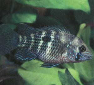 фото рыбки Акара голубая