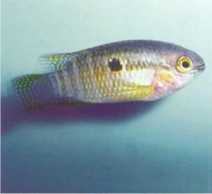 Акара круглоголовая, фото аквариумной рыбки