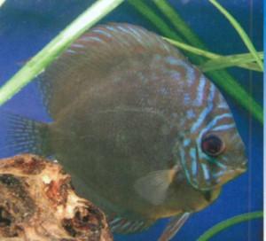 Фото рыбки Аквариумные дискусы