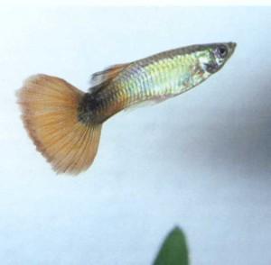 Фото рыбки аквариумный гуппи