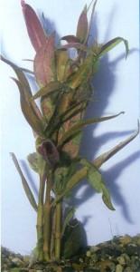 Альтернантера кардиналис, фото растения