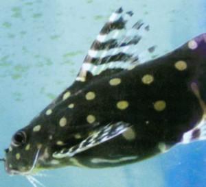 Ангел звездчатый, фото рыбки