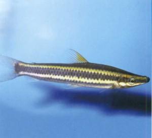 Аностомус обыкновенный, фото рыбки