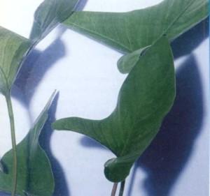 Анубиас карликовый, фото
