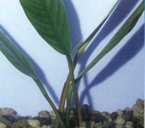 Анубиас копьевидный, фото