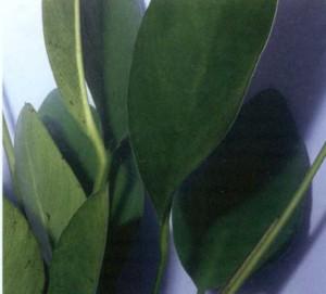 Анубиас разнолистный, фото
