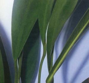 Анубиас узколистный, фото