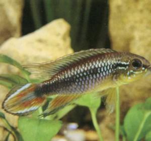фото рыбки Аписто-грамма Агассиза