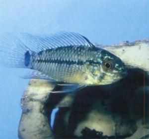 Фото рыбки Апистограмма Борелли
