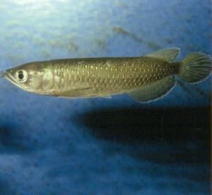 Аравана австралийская, фото рыбки