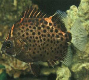 Фото рыбки Аргус красный