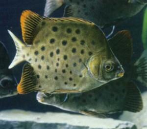 Фото рыбки Аргус пятнистый