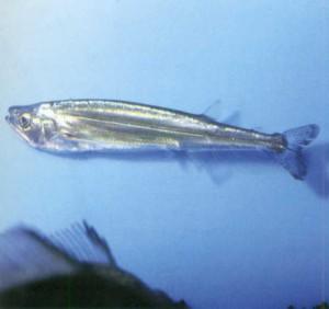 Ацестроринхус носатый, фото рыбки