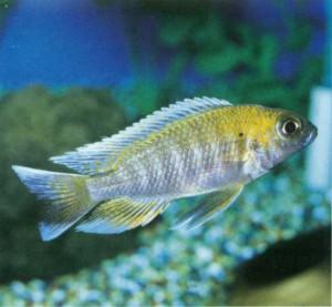 фото рыбки Aulonocara baenschi