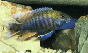 Фото рыбки Аулонокара Фрейберга