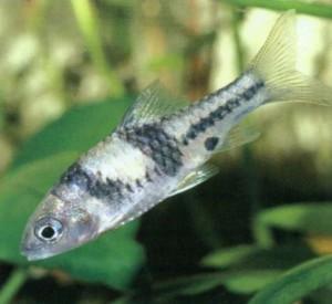 Барбус «Гаечный ключ», фото рыбки