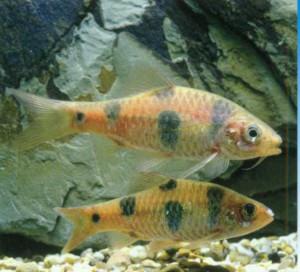 Барбус Эверетта, фото рыбки