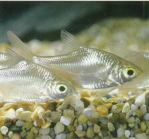 Барбус Шваненфельда, фото рыбки