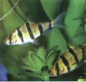 Барбус пятиполосный, фото рыбок