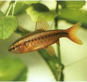 Барбус вишневый, фото рыбки