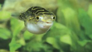 Фото аквариумной рыбки Биоцеллатус