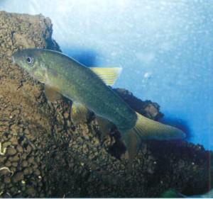 Боция Леконта, фото рыбки