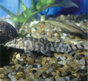 Боция мраморная, фото рыбки