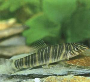 Боция полосатая, фото рыбки