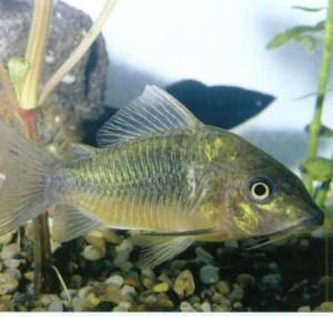 Брохис зеленый, фото рыбки