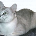 Кошка Бурмилла