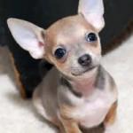 Chihuahua opisanie porodyi