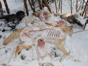 останки собак. фото