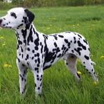 Dalmatin opisanie porodyi