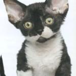 Девон-рекс, фото кошки