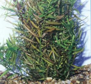 Дидиплис двухтычинковый, фото