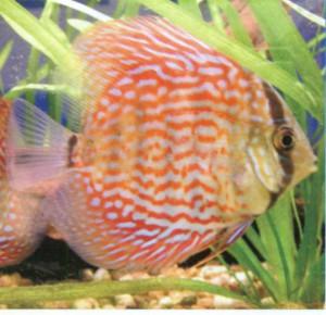 Дискус красный, фото рыбки