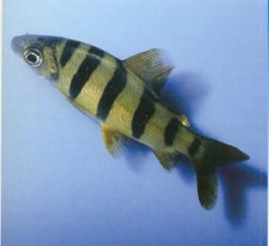 Дистиход шестиполосный, фото рыбки