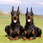 http://www.dreamstime.com/stock-images-two-dobermans-image9422014