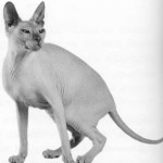 Донской сфинкс, фото кошки