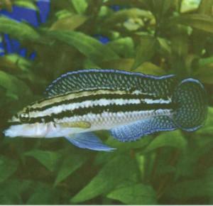 фото аквариумной рыбки Джули голубая