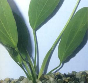 Эхинодорус озирис, фото