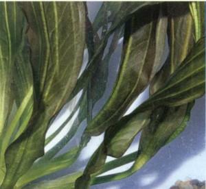 Эхинодорус рубин, фото