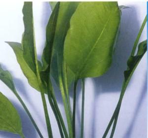 Эхинодорус сердцелистный, фото