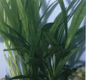 Эхинодорус широколистный, фото
